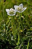 Grass of Parnassus in bloom in Catalonia  Spain