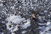 Lammergeiers mating Switzerland