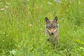Gray wolf in a field Germany