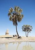 Vegetable Ivory Palm - Namibia ; Namibia - Termite hills, Makalani palm trees (Hyphaene petersiana) and shallow pools (oshanas) are prominent features of northern Namibia where the Owambo people live. Omusati region, Namibia.