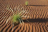 Namib desert ; Namibia - Green Bushman grass (Stipagrostis sp.) in March during the rainy season in the Namib Desert.