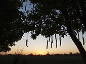 Arbre à saucisses Coucher de soleil - Namibie ; Sausage Tree (Kigelia africana) - At sunset at the bank of the Okavango River which is border river between Namibia and Angola (the sun is setting on the Angolan side). Kavango region, northern Namibia.