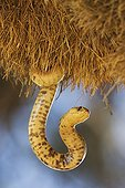 Cape cobra in Social-weaver nest South Africa ; Cape Cobra (Naja nivea) - Raiding a huge communal nest of Sociable Weavers (Philetairus socius). Its venom is neurotoxic and fatal in humans. Kalahari Desert, Kgalagadi Transfrontier Park, South Africa.