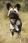 African wild dog - Namibia ; African Wild Dog (Lycaon pictus) - Photographed in captivity. Harnas Wildlife Foundation, Namibia.