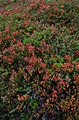 Bearberry  heather and whotleberry in Catalonia  Spain