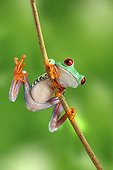 Red-eyed Tree Frog climbing a branch