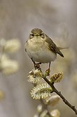 Willow warbler on a branch Denmark