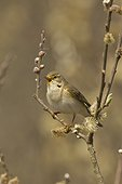 Willow warbler singing on a branch Denmark