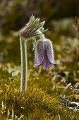 Small pasque flower in bloom Denmark