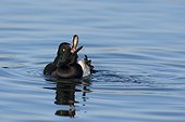 Tufted duck male on water Denmark