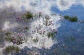 Armérie en fleur au milieu de l'eau Islande