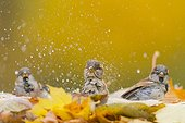 House sparrows bathing among the dead leaves