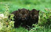 Black panther - Africa