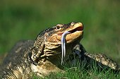 Common Water Monitor - Asia