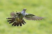 Cuckoo displaying in flight at spring GB