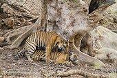 Bengal tigers mating Ranthambore NP India