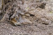 Bengal tiger female resting after mating Ranthambore NP