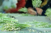Sorting Lily of the valley in the Nantes region France