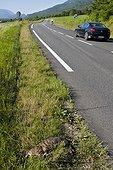 Chat sauvage écrasé au bord d'une route Bugey France