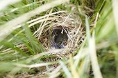 Nest of dunnock in a garden ; Chez les accenteurs, c'est monsieur qui couve car l'espèce est polygame, madame ayant plusieurs maris. Madame se contente de choisir un des nids que monsieur aura construits. Le mâle les édifie dans les vivaces basses et les graminées du jardin, souvent à 40 ou 50 cm de hauteur, pas davantage. La femelle y pond ses Óufs et c'est le mâle qui s'occupe de la couvée et des petits. Les nids passent facilement inaperçus du jardinier qui travaille à proximité et peut ainsi déranger la couvée. Les pertes sont importantes car le nid est facilement accessible et mieux il sera camouflé, plus la nichée aura de chances d'arriver jusque à l'âge adulte.