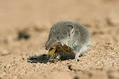 Greater white-toothed shrew eating an insect Spain