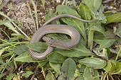 Western three-toed skink on leaves Spain