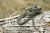 Montpellier snake on a dead tree stump - Spain