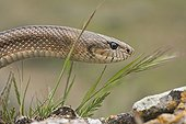 Portrait of a Ladder snake Spain