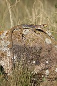 Young Ocellated lizard on a rock Spain