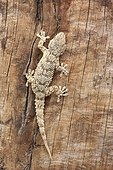 Crocodile gecko climbing on a trunk, Spain