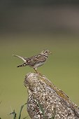 Calandra lark on a rock Spain