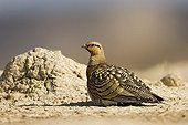 Pin-tailed sandgrouse on the ground Spain