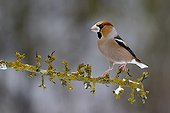 Hawfinch on a branch in winter France