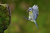 Blue Tit in flight arrival at the nest with prey France