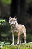 European Wolf on rock Bayerischer Wald Germany