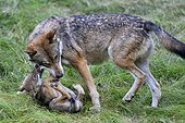 European Wolf and young playing Bayerischer Wald Germany