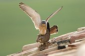 Lesser kestrels mating on a roof Spain