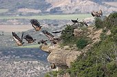 Eurasian griffon vultures flying away Spain