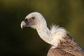 Portrait of an Eurasian griffon vulture Spain