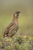 Attentive Common Quail Spain