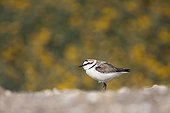 Kentish plover on the ground Ebro Delta Spain