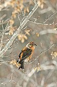 Common Crossbill on a branch Spain