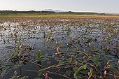 Amphibious bistort in bloom in Laguna de las Cañas Spain