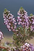 Cornish heath in blossom Spain