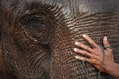 Asian Elephant groomed by his mahout Laos