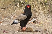 Bateleur on its prey on the ground Kruger South Africa
