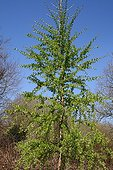 Japanese larch in a garden ; 12 years old