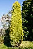 Monterey cypress 'Goldcrest' in a garden ; 17 years old