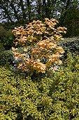 Sycamore maple 'Brilliantissimum' in a garden