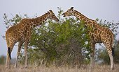Reticulated giraffes eating foliage Solio Game Reserve Kenya